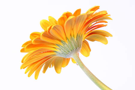 flower - gerbera daisy  Фото со стока