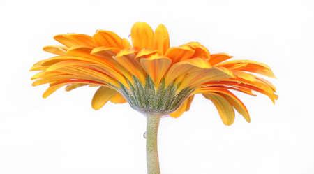 flower - gerbera daisy  photo