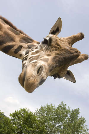 Beautiful Giraffe  Stock Photo - 6068520