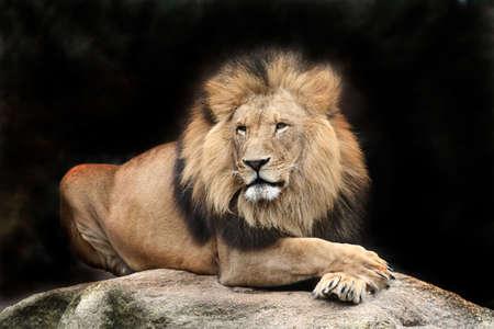 leones: Le�n  Foto de archivo