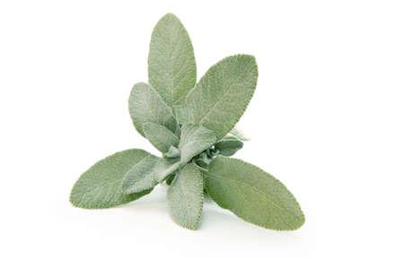 spice isolated: Fresh sage isolated on white background Stock Photo