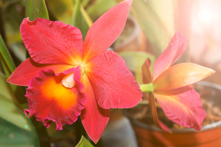 Blooming red Orchid close-up in warm colors.