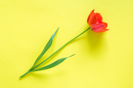 Red flowers of tulips on bright yellow background. Copy space for text.