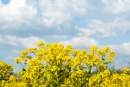 Yellow oilseed rape field under the blue sky with sun.
