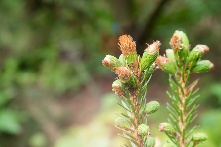 Flowering young coniferous trees in the spring in the forest.