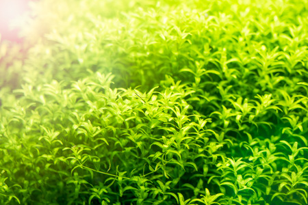 Background of green beautiful tropical freshwater aquarium Selective focus.
