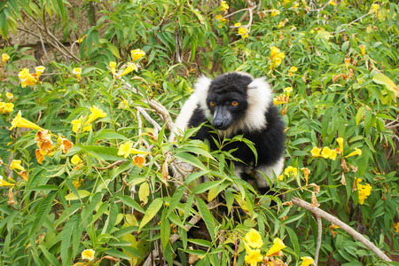 Black and white ruffed lemur on a Bush with yellow flowers Banco de Imagens