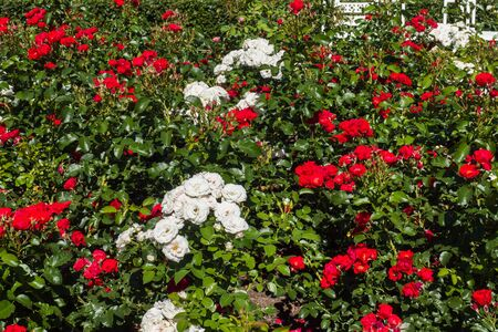 Flowering rose bushes in the summer garden Reklamní fotografie