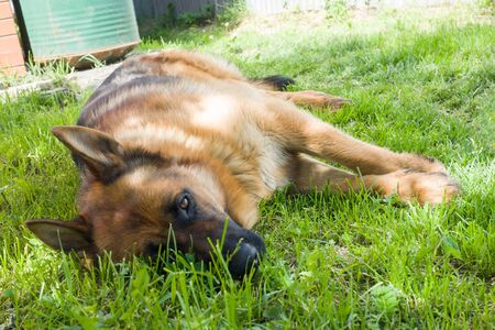 German shepherd lying on the grass resting on the lawn