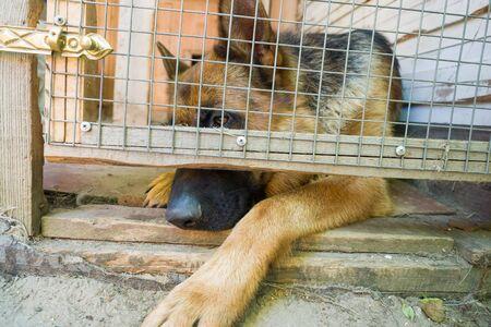 German shepherd is locked in a cage