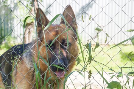 German shepherd looks through the fence and grass 版權商用圖片