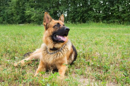 German shepherd walking resting in the Park on the grass on a summer day 版權商用圖片