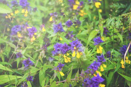 Beautiful wild flowers in sunlight. Wood Cow-wheat, Melampyrum nemorosum selective focus.