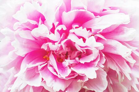 Background of delicate pink peony petals. Close up.