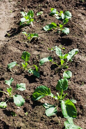 Young sprouts of cabbage in the home garden Banque d'images