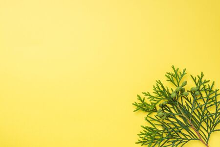Branch thuja on yellow background with copy space
