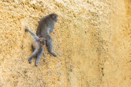 Japanese macaques mom with a baby sitting on the wall. Moscow zoo, Russia