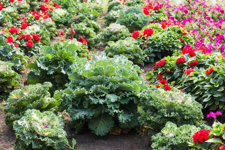 Decorative cabbage and red garden flowers on a bed in the garden