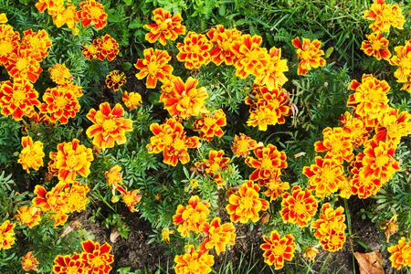 The background is of a beautiful yellow-orange flowers of calendula marigolds growing in the garden