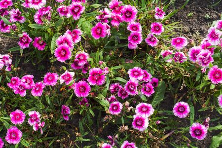 Beautiful pink daisys flowers growing in the garden close up. Petunia ampelous