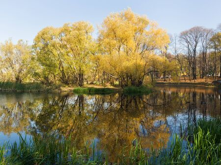 Beautiful autumn trees in yellow colors are reflected in the water of the pond in the Park