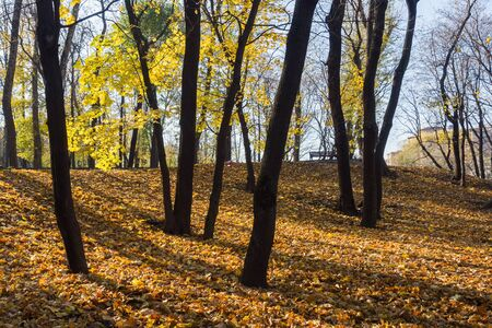 Autumn trees and fallen yellow leaves in a Park in the city