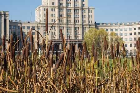 Flowering reeds at the pond in the Park on the background of city buildings
