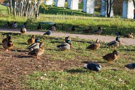 Ducks sit on the grass in the Park near the lake. Sunny autumn day