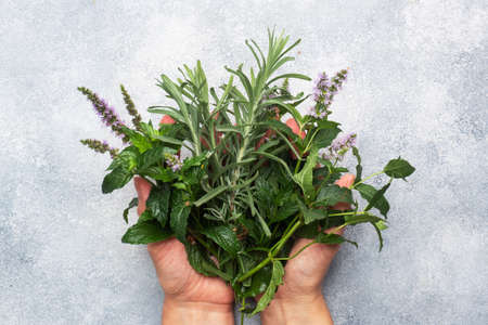 Bunches of fresh sprigs of mint and rosemary. Women's hands hold a bouquet of fragrant herbs. Gray concrete background