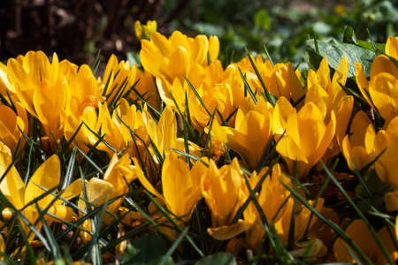 Beautiful first spring flowers yellow crocuses bloom under bright sunlight in the park 免版税图像
