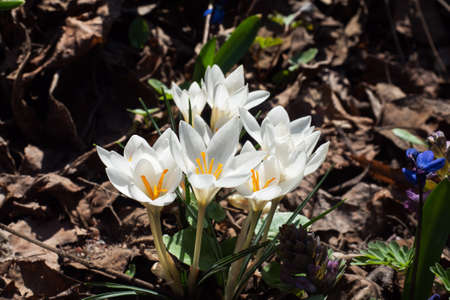 Beautiful first spring flowers crocuses bloom under bright sunlight in the park