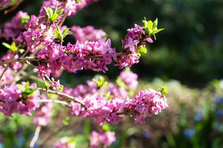 Beautiful flowering shrub Spurge laurel (Daphne mezereum), The poisonous bush wolfberry