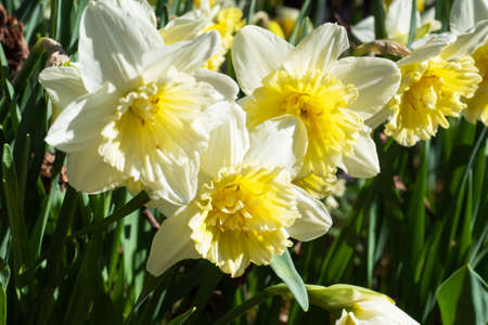 Beautiful yellow daffodils in the sun grow in the park