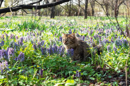 The cat is sitting in a flowery meadow. Spring landscape with primroses, bright carpet of flowers in the park on a sunny day