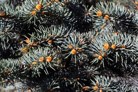 Background of the spruce branches is blue green, texture nature. Close up 免版税图像