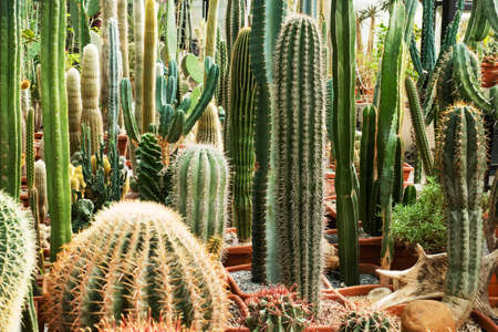 Cactuses of various types in pots in a closed greenhouse