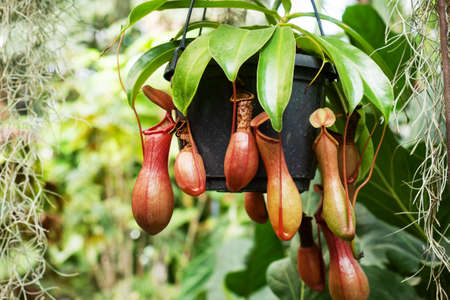 Nepenthes burkei tropical pitcher plant. They produce nectar in their leaves to catch insects