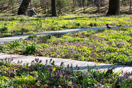 Spring landscape with primroses, bright carpet of flowers in the park on a sunny day