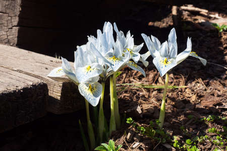 Beautiful iris flowers grow in the park on a sunny day, mini irises bloomed in the spring