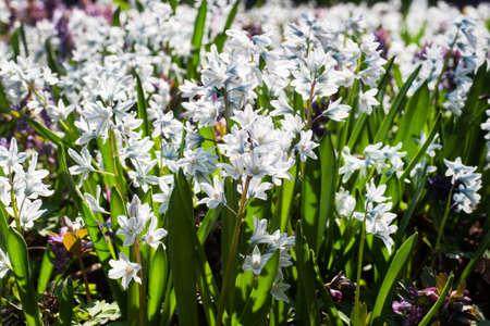 Beautiful white hyacinth flowers, spring primrose in the garden