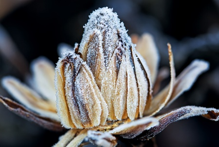 Frozen flower bud, macro shot photo