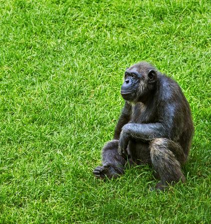 bonobo: Monkey on grass, chimpanzee Stock Photo