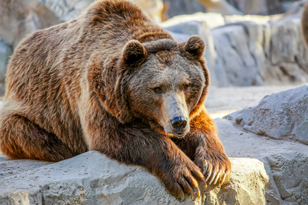 Grizzly brown bear lying on stone photo