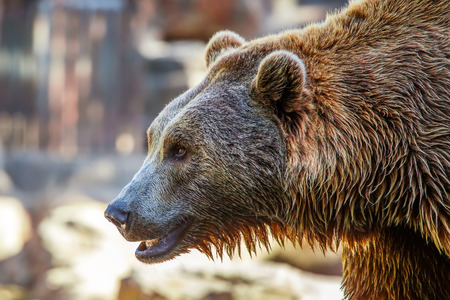 Grizzly Brown Bear profile head, close-up photo
