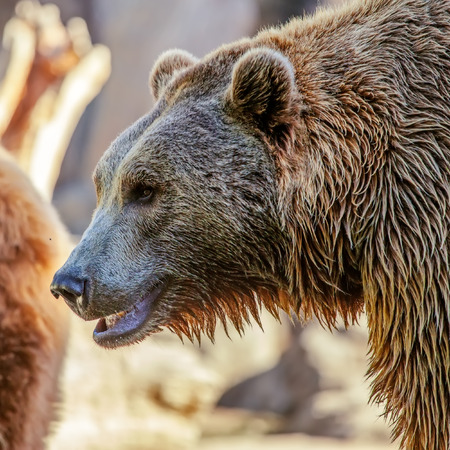 Grizzly Brown Bear profile head photo