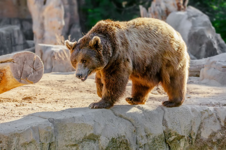 Brown bear, cute wild animal photo