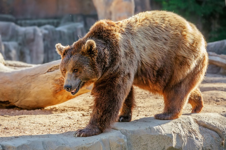 Grizzly brown bear walking on rock photo