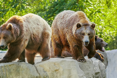 Group of brown bears photo