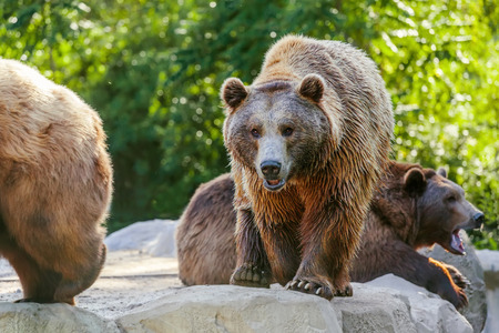 Brown bears walking in forest photo