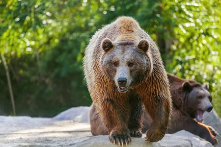 Grizzly brown bear looking forward, front view photo